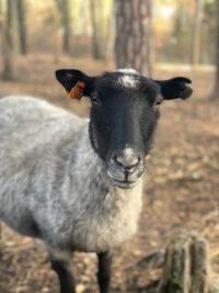 Jossan : Roslagsfår född 2017